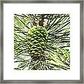 Watercolor Of Ripening Pine Cone Framed Print