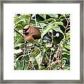Waxwing Meal Framed Print
