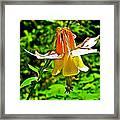 Western Columbine Along Wapta Falls Trail In Yoho National Park-british Columbia Framed Print