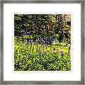 Where The Lupines Grow Framed Print
