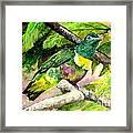White-bibbed Fruit Dove  Framed Print