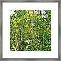 White Birch Along Rivier Du Nord Trail In The Laurentians-qc Framed Print