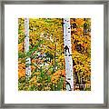 White Birch Autumn Framed Print
