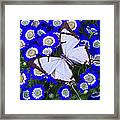 White Butterfly On Blue Cineraria Framed Print