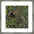 White-faced Capuchin Monkey In Manuel Antonio National Preserve-costa Rica Framed Print