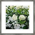 White Hydrangeas Framed Print