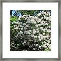 White Rhododendron Blooming In The Garden Framed Print