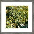 Wild Flowers, Anza Borrego Desert State Framed Print