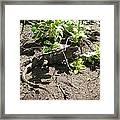 Wild Iguana Finding Shade 2 Framed Print