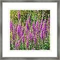 Wild Lavender Flowers Framed Print