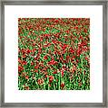 Wild Poppies Growing In A Field, South Framed Print