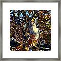 Wild Red Tail Hawk Framed Print