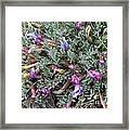 Wildflowers - Woolly-pod Locoweed Framed Print