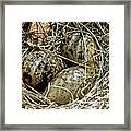 Willet Catoptrophorus Semipalmatus Eggs Framed Print
