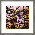 Wine Grapes On The Vine Framed Print
