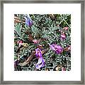 Woolly-pod Locoweed Closeup Framed Print