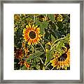 Yellow And Orange Sunflowers Framed Print