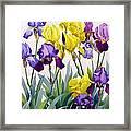 Yellow And Purple Irises Framed Print