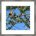 Yellow Bird In A Juniper Tree Framed Print