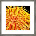 Yellow Chrysanthemum Painting Framed Print