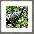 Yellow Crowned Night Heron In Display Framed Print
