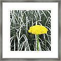 Yellow Immortelle Flower Framed Print