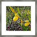 Yellow Lady Slippers Along Emerald Lake Trail In Yoho Np-bc Framed Print