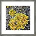 Yellow Lichen Framed Print