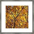 Yellow Maple 3 Framed Print