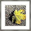 Yellow Maple Leaf On Asphalt Framed Print