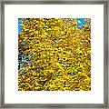 Yellow Maple Framed Print