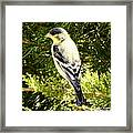 Yellow N Black Finch Framed Print