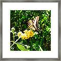 Yellow Swallowtail On Yellow Lantana Framed Print