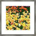 Yellow Tulips In Bloom Framed Print