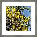 Yellow Wisteria Blooms Framed Print