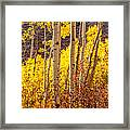 Young And Old Aspens Framed Print