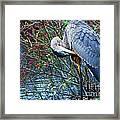 Young Blue Heron Preening Framed Print