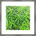 Young Goldenrod Before Blossoms Framed Print