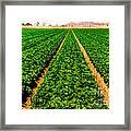 Young Lettuce Framed Print