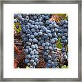 Zinfandel Wine Grapes Framed Print by Charlette Miller