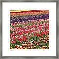 A Tulip Field Framed Print