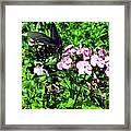 Blackie Framed Print