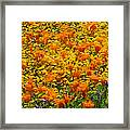 California Poppies And Goldfields Dance Framed Print