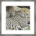 Cheetahs Resting Framed Print