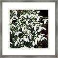 Common Snowdrop (galanthus Nivalis) Framed Print