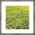 Corn Marigolds (chrysanthemum Segetum) Framed Print