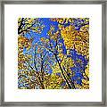Fall Maple Trees Framed Print