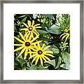 Flower Rudbeckia Fulgida In Full Framed Print by Ted Kinsman