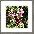 Hollyhock (alcea Rosea) Framed Print