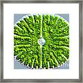 Micrasterias Denticulata Framed Print